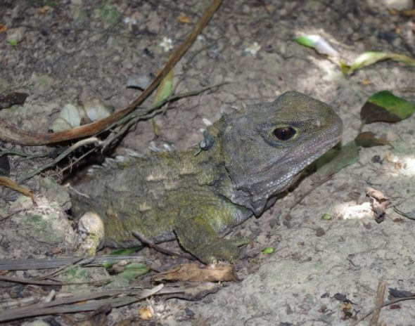 A tuatara at its burrow entrance on Takapourewa. Image: Colin Miskelly, Te Papa