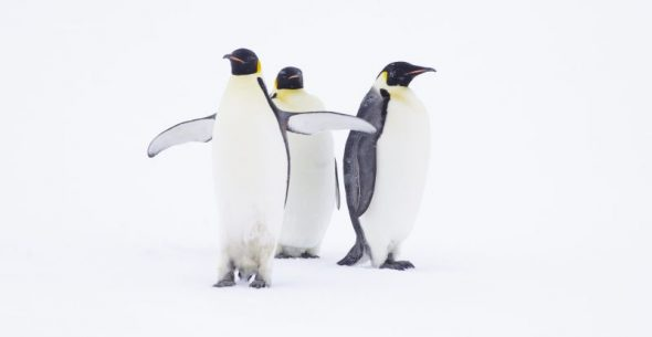 Emperor penguins in a whiteout, Gould Bay. Image: Colin Miskelly