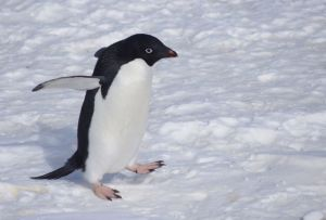 An adult Adelie penguin walking over sea-ice at Gould Bay, December 2014. Image: Colin Miskelly