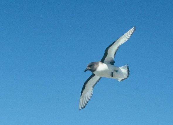 An Antarctic petrel photographed on a previous visit to Antarctica. Image: Colin Miskelly