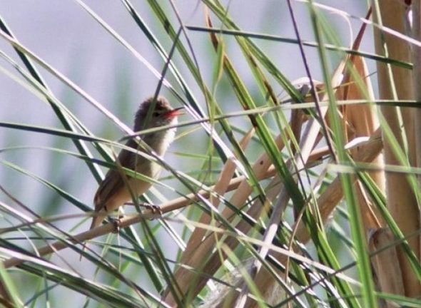 New Zealand's first (and only) Australian reed warbler, St Annes Lagoon, Cheviot, November 2004. Image: Nick Allen
