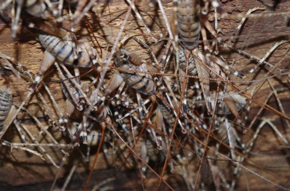 A colony of jumping weta (Gymnoplecton edwardsii) in their daytime retreat on