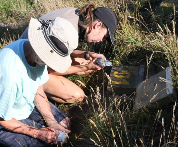 Sue Chesterfield (left) and Fenella Fenton check the leg-band number of a fairy prion chick on Mana Island. Keeping track of all 100 chicks and their measurements and burrow numbers required a lot of record keeping and attention to detail. Image courtesy of David Cornick