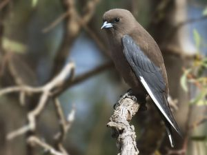 A dusky woodswallow photographed in South Australia. Image: Craig Greer, NZ Birds Online