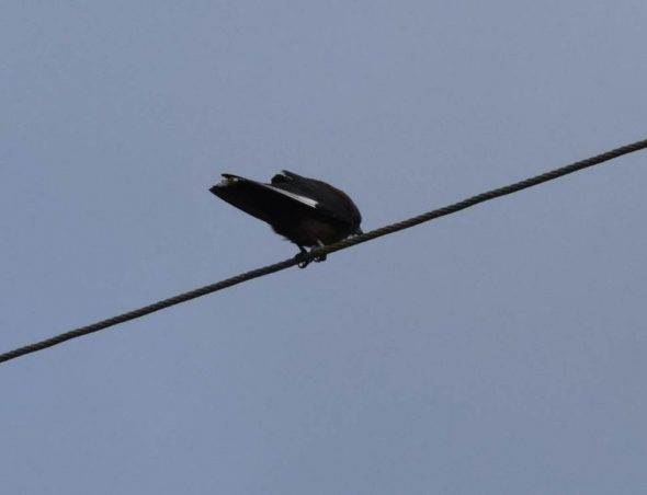 New Zealand's first (and only) confirmed dusky woodswallow perched on a wire above Traill Park, Stewart Island. Image: Tomoe Morimoto
