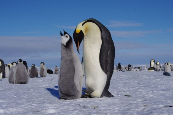 A large emperor penguin chick begs to be fed. Gould Bay, December 2014. Image: Colin Miskelly