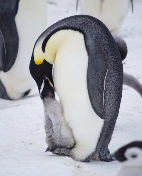 An emperor penguin feeds its chick, Gould Bay, November 2014. Image: Colin Miskelly