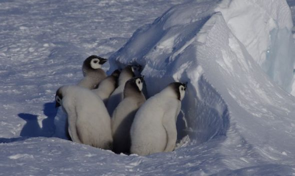 A group of wandering emperor penguin chicks pause to rehydrate at a snow drift. Gould Bay, December 2014. Image: Colin Miskelly