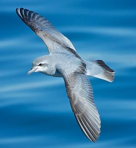 A fairy prion at sea. The chicks that flew from Mana Island in January-February 2015 are not expected back on land until at least 2018. Image: Les Feasey, NZ Birds Online