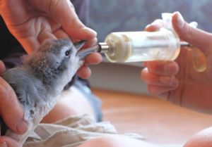 A fairy prion chick being hand-fed on Mana Island. Image courtesy of David Cornick