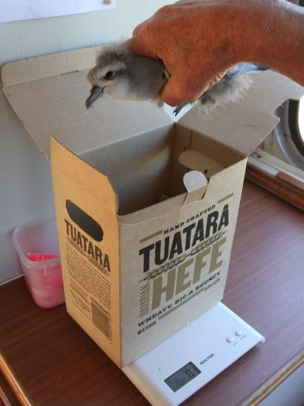 Unintended weight of irony. The fairy prion chicks were removed from the threat of tuatara predation on Takapourewa and ended up being weight in a Tuatara carton on Mana Island. Image courtesy of David Cornick