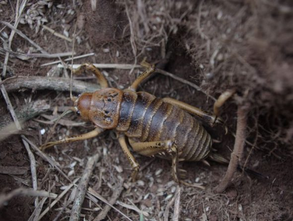 A female Cook Strait giant weta on Takapourewa, January 2015. Image: Colin Miskelly, Te Papa