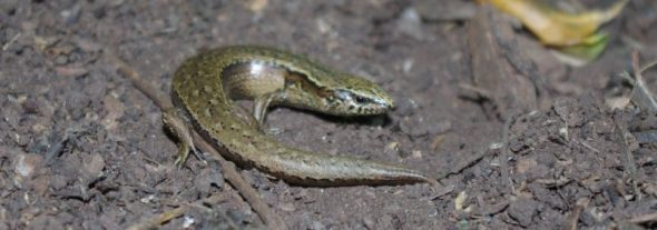 Glossy brown skink. Image: Colin Miskelly, Te Papa