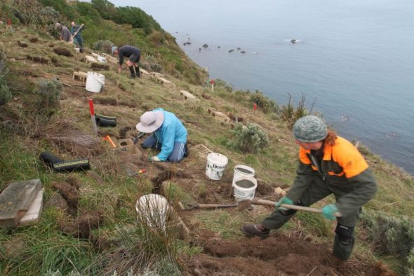 The burrow installation team hard at work, under the supervision of Helen Gummer (lower right), Mana Island, July 2014. Image courtesy of David Cornick