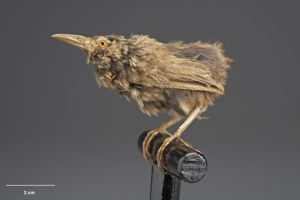 One of the few surviving specimens of Lyall's wre, Takapourewa, c.1894. Image: Te Papa