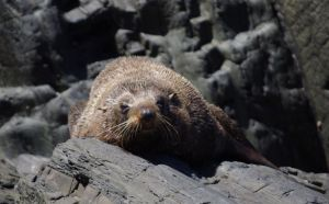 A bull New Zealand fur seal, Takapourewa, January 2015. Image: Colin Miskelly