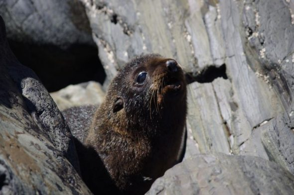 New Zealand fur seal pup, Takapourewa, January 2015. Image: Colin Miskelly
