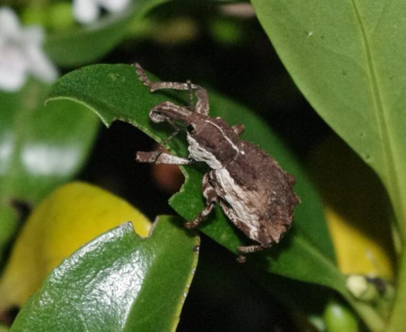 A ngaio weevil nibbles on a ngaio leaf at night on Takapourewa, January 2015. Image: Colin Miskelly, Te Papa