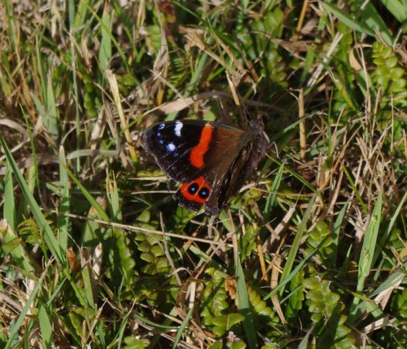 Red admiral butterfly on Takapourewa, January 2015. Image: Colin Miskelly, Te Papa