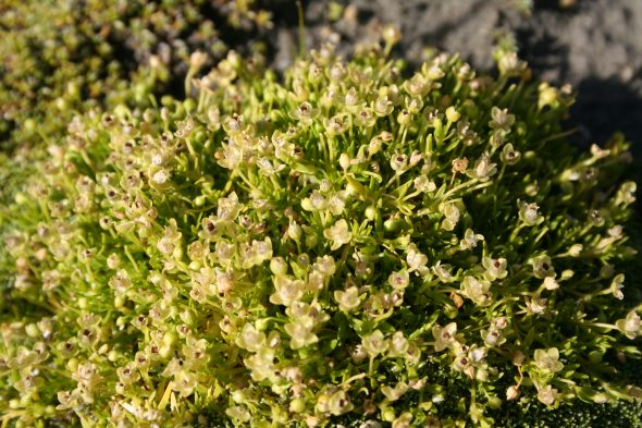 procumbent pearlwort, Sagina procumbens L., (SP103879). Collected 15 Dec 2014, New Zealand, Canterbury, Mount Potts, Potts River. Image: Antony Kusabs, Museum of New Zealand Te Papa Tongarewa.