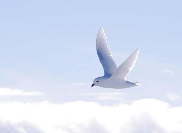 A snow petrel flies over Gould Bay, November 2014. Image: Colin Miskelly