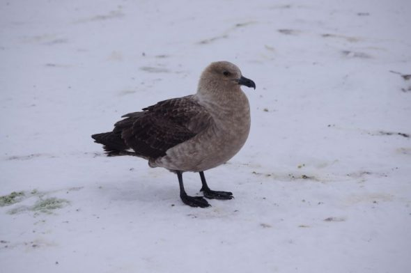 A South Polar skua at Gould Bay, December 2014. Image: Colin Miskelly