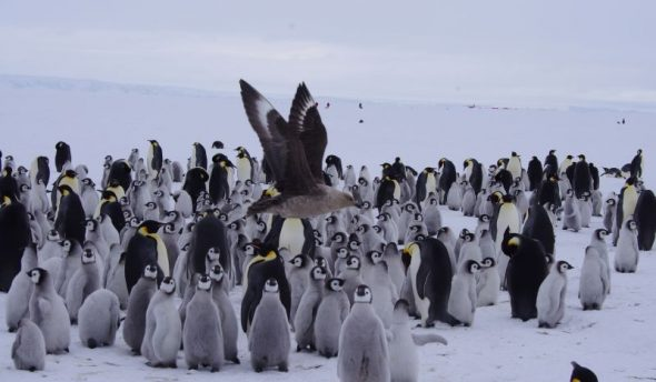 Skua alert! A South Polar skua flies past emperor penguin chicks at Gould Bay, December 2014. Image: Colin Miskelly