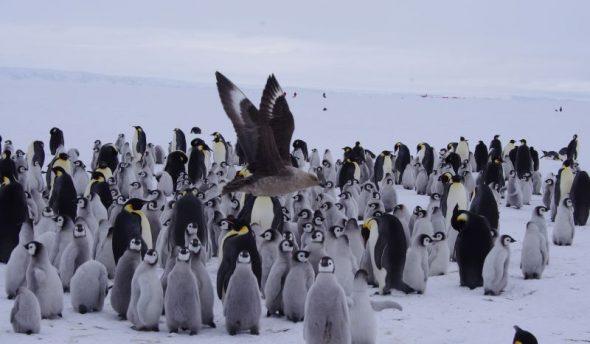 Skua alert! A South Polar skua flies past emperor penguin chicks at Gould Bay, December 2014. Image: Colin Miskelly
