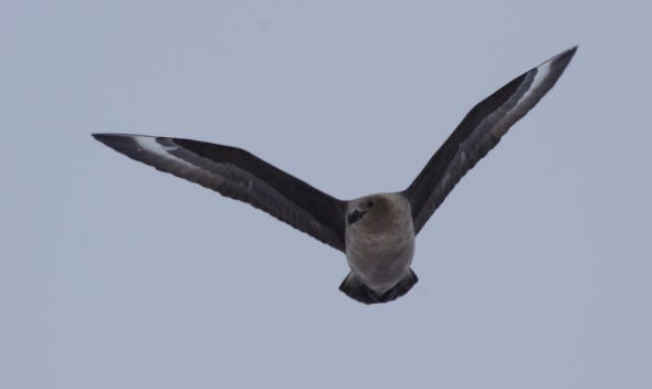 A South Polar skua flies over the Gould Bay emperor penguin colony, December 2014. Image: Colin Miskelly