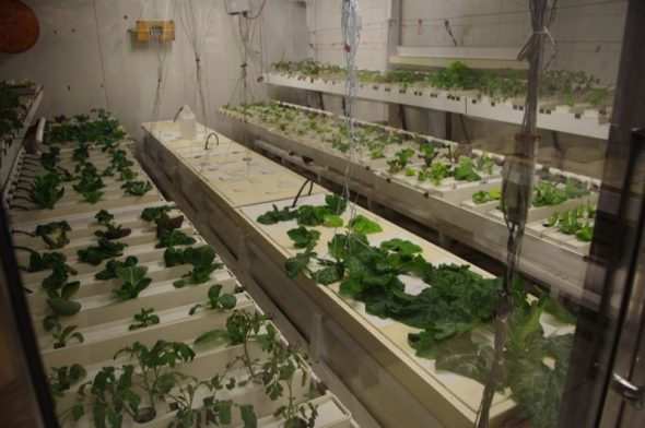 A hydroponic garden inside Amundsen-Scott South Polar Research Station. One of the plants being grown was New Zealand spinach. Image: Colin Miskelly