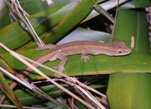Southern striped gecko on flax at night. Takapourewa, January 2015. Image: Colin Miskelly, Te Papa