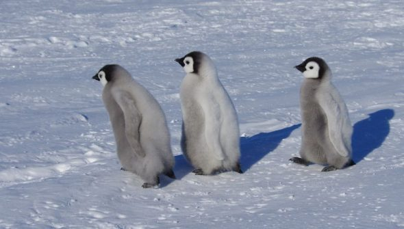 Three emperor penguin chicks go exploring. Gould Bay, December 2014. Image: Colin Miskelly