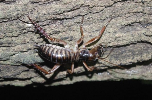 A male Wellington tree weta clings to the underside of a ngaio branch on Takapourewa, January 2015. Image: Colin Miskelly, Te Papa