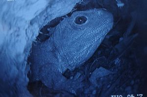A tuatara inside a burrow on Takapourewa, as viewed through a burrowscope, January 2015. Image: Colin Miskelly