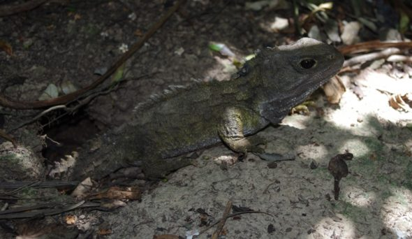 A tuatara exits a burrow on Takapourewa, January 2015. Image: Colin Miskelly