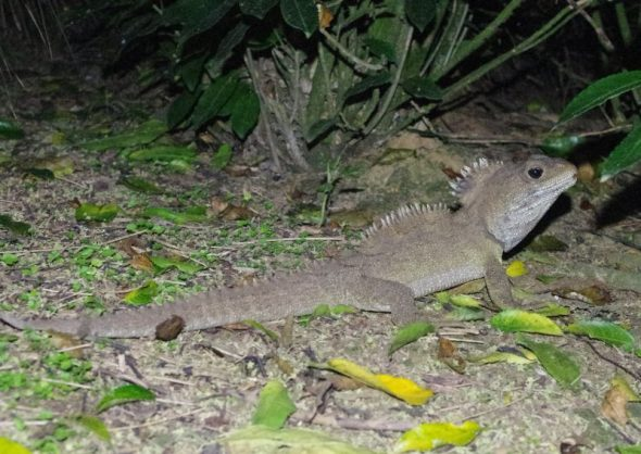 Adult male tuatara displaying with raised crests at night. Takapourewa, January 2015. Image: Colin Miskelly, Te Papa