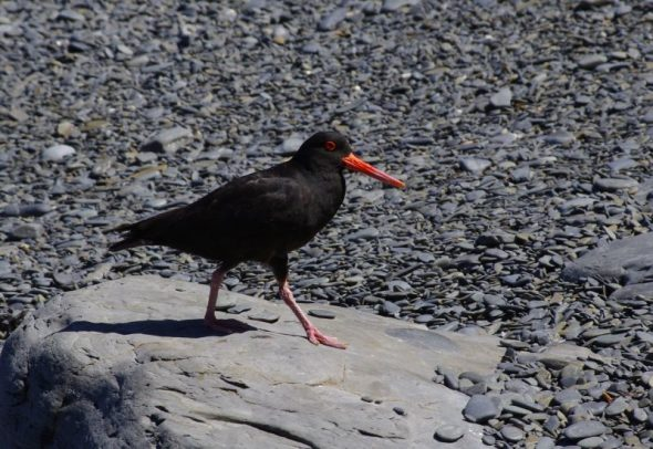 A variable oystercatcher on Queens Beach, Takapourewa, January 2015. Image: Colin Miskelly
