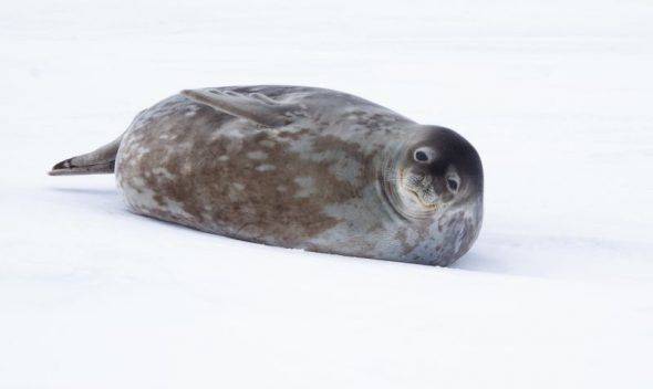 A Weddell seal lies on the ice at Gould Bay, December 2014. Image: Colin Miskelly