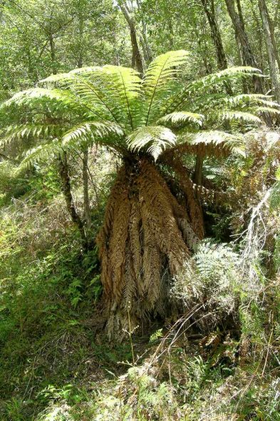 The tree fern whekī-ponga, Dicksonia fibrosa, is one of the species covered in the just-published eFloraNZ treatments. Photo © Leon Perrie.