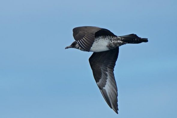 Immature pomarine skua at sea off North Cape, March 2015. Image: Les Feasey, NZ Birds Online