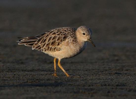 New Zealand's first buff-breasted sandpiper, Papakanui spit, Kaipara Harbour, March 2014. Image: Ian Southey, NZ Birds Online