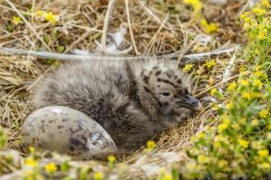 Southern black-backed gull nest containing an egg and young chick, Awarua Bay, January 2015. Image: Glenda Rees, NZ Birds Online