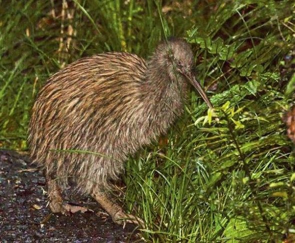 Stewart Island kiwi, March 2015. Image: Glenda Rees, NZ Birds Online