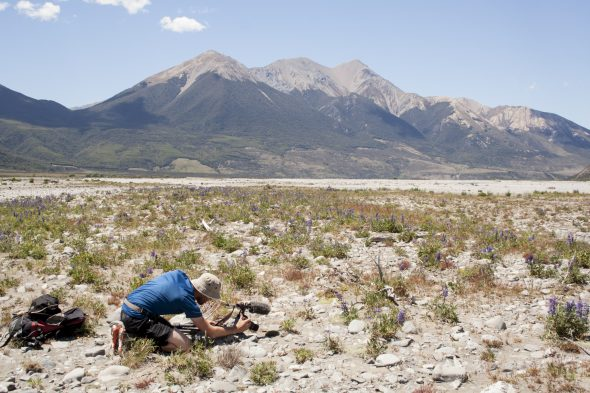 Another perfect morning: Here is Ant Kusabs filming a second population of Myosotis uniflora, this time in the Waimakariri River beds. Photo by Heidi Meudt © Te Papa.