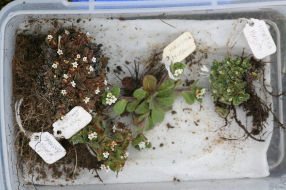 Box of botanical treasures: Here are some of the forget-me-not specimens we collect in the Dunstan Range. We place them in this plastic box with a moist paper towel for safe keeping during the day until we press them later in the evening. Photo by Heidi Meudt © Te Papa.
