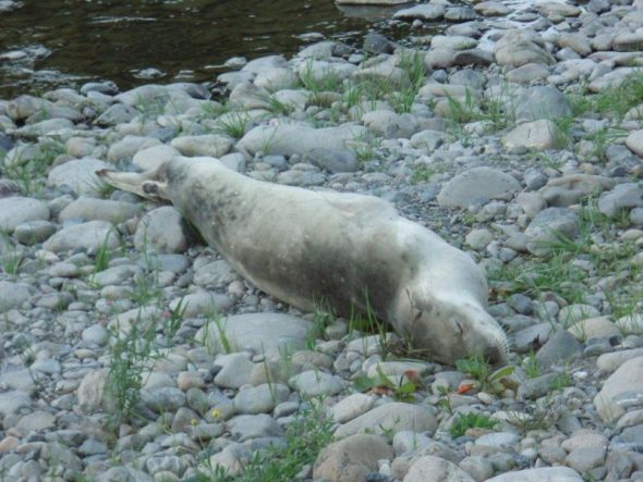 The crabeater seal beside the Hutt River, 27 March 2015. Image: Anneke Mace, Department of Conservation