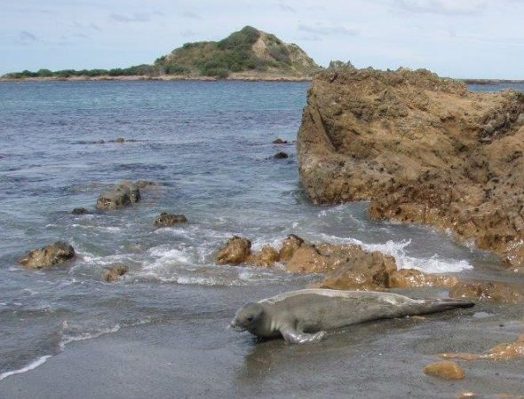 The crabeater seal at Island Bay, 25 March 2015. Image: Lauren Hansen, Department of Conservation