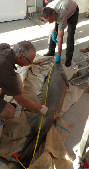 David Moss (DOC) and Colin Miskelly (Te Papa) measuring the deceased crabeater seal. Image: Alan Tennyson, Te Papa