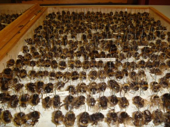 Bumblebee specimens from Te Papa's collection. Historic specimens such as these can be important for examining past genetic variation, even from extinct species. Photo: Lara Shepherd