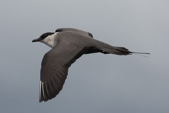 Long tailed skua, Stercorarius longicaudus, in flight – not the specimen in DeCLASSIFIED! Image by and courtesy of Brook Whylie.